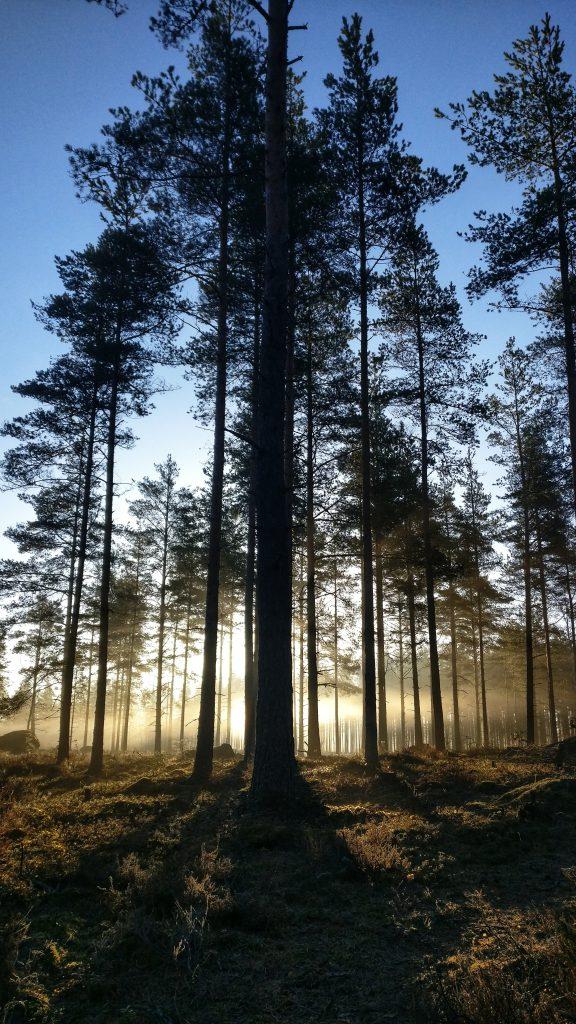 Usvainen aamu mäntymetsässä. Kuva Jonna Tähtinen.