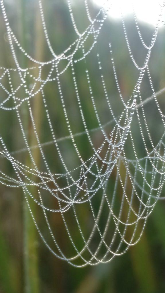 Aamukastetta hämähäkinseitillä. Kuva Jonna Tähtinen.